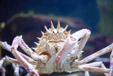 Free Big Crab Royalty Free Stock Photos - 6519178