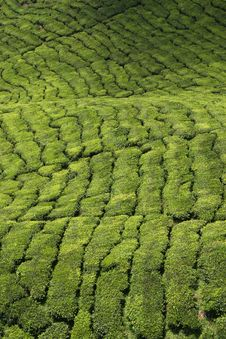 Free Tea Plantation Stock Image - 6519401