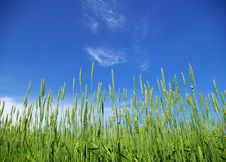 Free Wheat Field Royalty Free Stock Image - 6519906