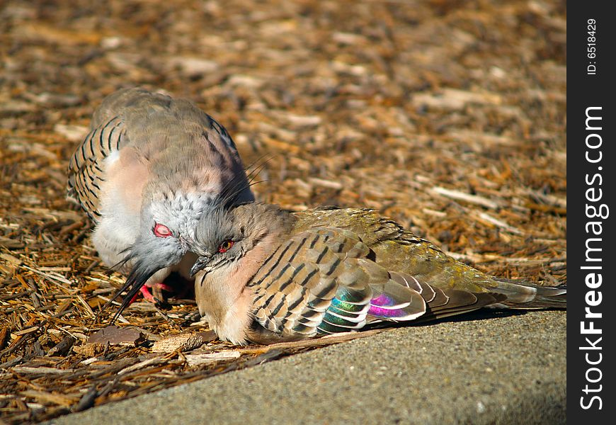 Two cuddling pigeons