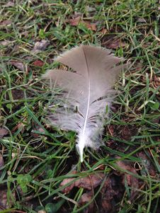 A Feather On A Lawn In A Park In Winter. Royalty Free Stock Photos
