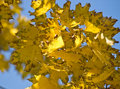 Free Autumn Maple Leaves Royalty Free Stock Images - 6523179