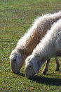 Free Sheep Grazing Royalty Free Stock Photo - 6527025