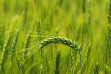 Free Green Wheat Royalty Free Stock Photography - 6520087