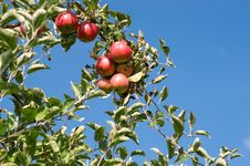 Free Red Apples Royalty Free Stock Image - 6520276