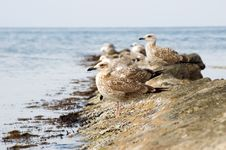 Free Seagulls On Stone Stock Photo - 6520420