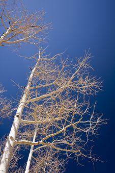 Free Birch Stock Image - 6520971