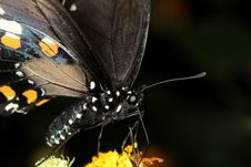 Free Black Swallowtail Butterfly Royalty Free Stock Photos - 6521018