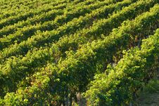 Free Vineyard Rows Royalty Free Stock Image - 6521156