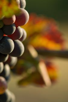 Free Glowing Grapes Royalty Free Stock Photos - 6521438