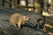 Free Prairie Dog Standing On A Rock Stock Images - 6521964