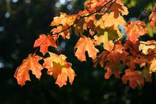 Free Golden Leaves Stock Photo - 6521980