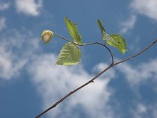Free Hazelnut Branch Stock Photo - 6522030