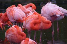Free Pink Flamingos Royalty Free Stock Photos - 6522408