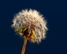 Dandelion Seeds Royalty Free Stock Photos