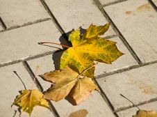 Free Autumn Maple Leaves Stock Photo - 6523200