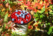 Free Wild Berries: Autumnal Harvest Stock Images - 6523824
