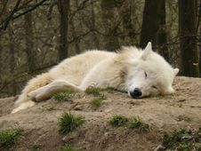 Free Arctic Wolf - Canis Lupus Arctos Royalty Free Stock Photography - 6524347
