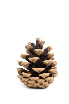 Free Pine Cone Stock Image - 6525501