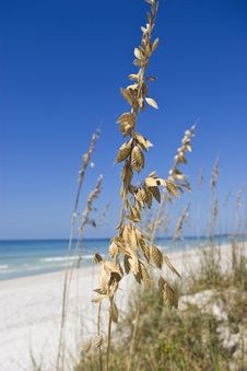 Golden Beach Grass Stock Image