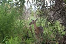 Free White Tail Deer Stock Photography - 6525882