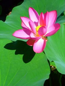 Free Lotus Flower Royalty Free Stock Photo - 6526535