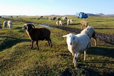 Sheep Grazing Stock Images