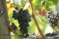 Free Concord Grapes Royalty Free Stock Photos - 6536308