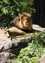 Free Lion Stock Photo - 6536450