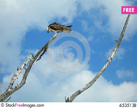 Free Hawk On Top Of Branch Royalty Free Stock Photos - 6535138