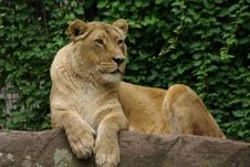 Free Lion Lady Laying Down Stock Images - 6530684