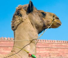 Free Head Of A Camel On Agra Fort Stock Photography - 6531642