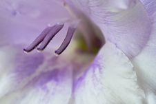 Free Gladiolus Royalty Free Stock Photos - 6531868