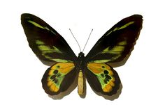 Free Black With Green Butterfly Stock Photography - 6531922