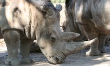 Free A White Rhinoceros Royalty Free Stock Image - 6532196
