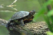 Free Green Turtle Royalty Free Stock Image - 6532336