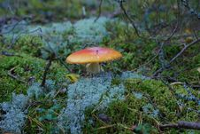 Free Fly-agaric Stock Photography - 6533252
