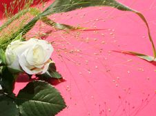 Free White Rose Over Pink Stock Photos - 6533913