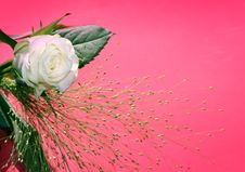 Free White Rose Over Pink Stock Photos - 6533933