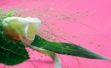Free White Rose Over Pink Royalty Free Stock Photo - 6533935