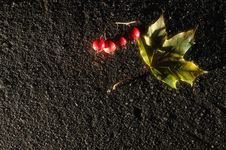 Free Maple Leaf And Hawthorn Berries Royalty Free Stock Image - 6534016