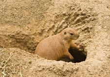 Free Leaning Prairie Dog Royalty Free Stock Image - 6534346