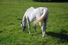 Free Arabian Horse Grazing Royalty Free Stock Photo - 6535855