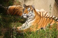 Tiger Lounging Stock Photography