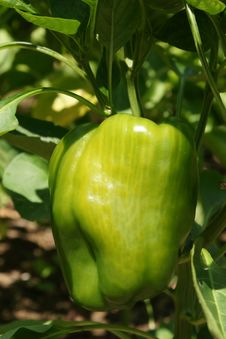 Free Green Pepper Stock Images - 6536434