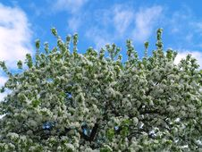Free Apple Blossoms With Blue Sky 2 Royalty Free Stock Images - 6537459