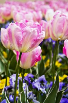 Free Pink Tulips Stock Photography - 6538052