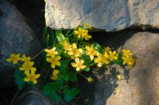 Free Yellow Flowers On Stone Royalty Free Stock Images - 6538119