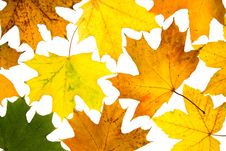 Free Maple Leaves Royalty Free Stock Photo - 6538175