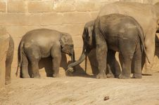 Indian Elephants Royalty Free Stock Photo